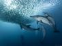 sardine-run